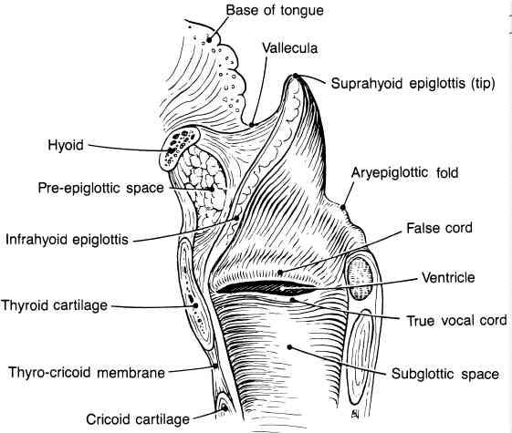 subglotic_larynx